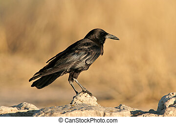 Black crow - A black crow Corvus capensis perched on a rock,...