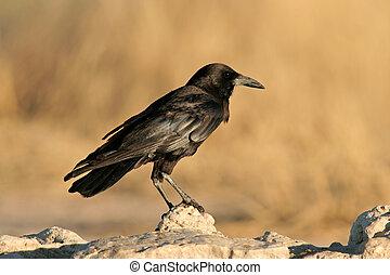 烏鴉, 黑色