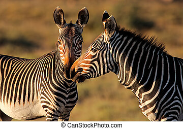 Cape Mountain Zebras - Endangered Cape Mountain Zebras Equus...