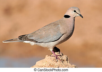 Cape turtle dove Streptopelia capicola perched on a rock,...
