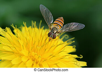 syrphidae insects - a kind of insects named syrphidae, it is...