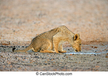 Lion cub drinking water - Young lion cub drinking water...