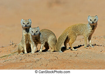 Yellow mongooses - A family of yellow mongooses (Cynictus...
