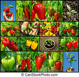 peppers collection - sweet peppers of different varieties...