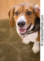 Cute Beagle Dog - A cute purebred beagle with plenty of copy...
