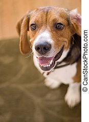 CÙte, beagle, cão