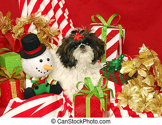 A Shih Tzu and Christmas Presents - A black and white shih...
