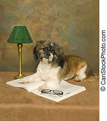 Shih Tzu Librarian - A Shih Tzu dog lays on a books with a...