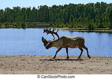 Woodland caribou walking near lake water.