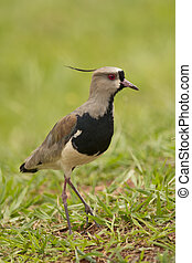 Southern Lapwing - Southern lapwing on the grass. Typical...