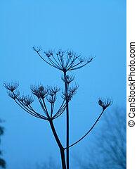 Giant Hogweed Seed Heads
