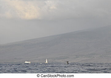 Whale Watching in Hawaii - Whale Watching in Maui, Hawaii