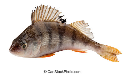 perch isolated on white background Clipping Path