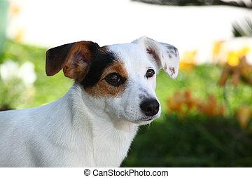 Puppy jack russel terrier in a meadow.