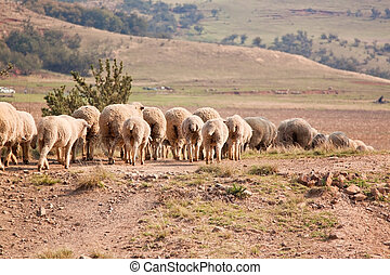 Flock of sheep walking in a row on a farm in the countryside