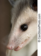 possum portrait - a macro picture of the face of a possum.