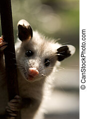 possum on pole - a small possum on a metal fence.