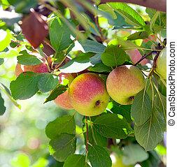 Red apples on apple tree .