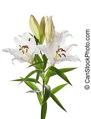 White lily flowers isolated on white background