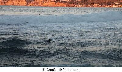 Seals swimming, La Jolla cove - La Jolla cove with sea lions...