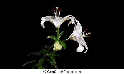 Blooming white lily on the black background (Lilium...