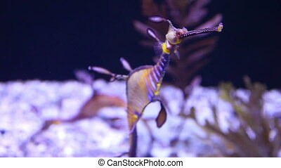 Weedy seadragons - Closeup of a colorful dragon seahorse