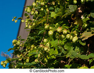 hop plant growing on a house