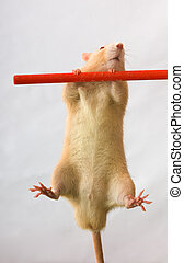The gymnast - Red rat on a crossbeam