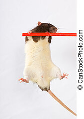 Sportsmen - Black-and-white rat on a crossbeam