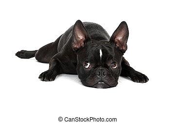 Sad Puppy - Froston (Frenchie x Boston Terrier) laying down...