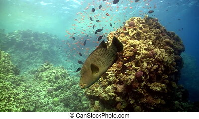 Napoleon fish on Coral Reef, Red sea