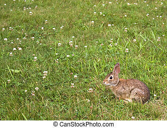 Wild Bunny Rabbit - A wild bunny rabbit grazing in the grass...