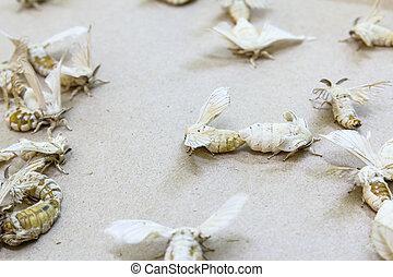 Silkworm butterflies