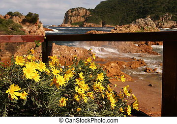 The heads - Yellow flowers by the Knysna heads.