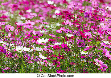 pink cosmos flowers - Field of White and Pink cosmos flowers...