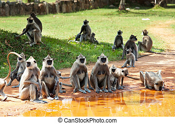 Monkey on Sri Lanka - Monkeys in Anuradhapura, Sri Lanka