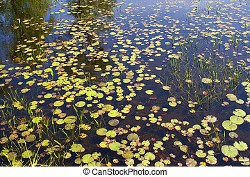 Lily Pads - Some lily pads floating in the water.