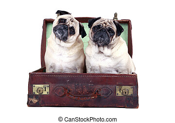 Where are we going? - Studio portrait of two pugs sitting in...