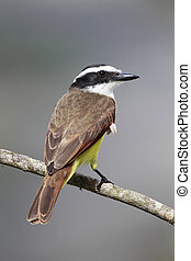 Great Kiskadee - Closeup of a Great Kiskadee in Sarapiqui,...