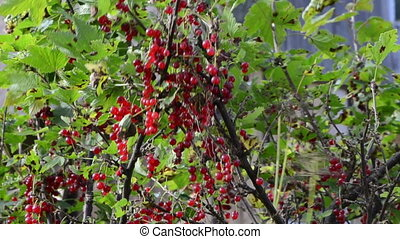 red currant berry natural - natural red currant bush with...