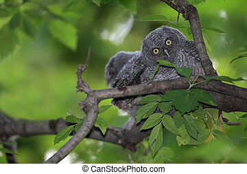 Screech Owlets sitting on a branch with one looking directly...