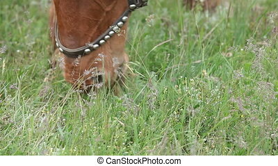 Horse eating grass - Horse eating green grass in a field...