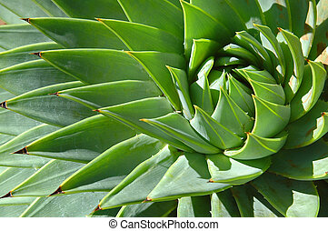 Spiral patterns of an aloe - Green spiral patterns of spiky...