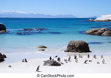 Penguins in South Africa - Penguins in False bay in South...