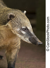 Snout of a Coati - the snout of a coati, with its long nose,...