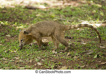 Coati walking on the Grass - A coati, with its long nose, in...