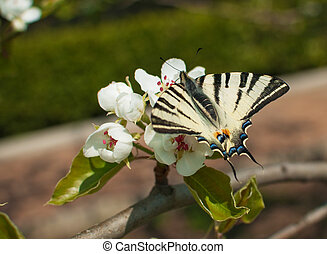 butterfly on a flower - on a branch of a blossoming apple...