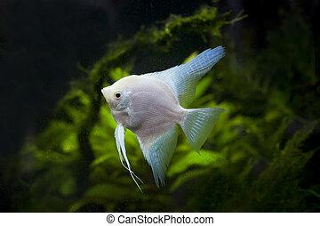 white Angel fish in green aquarium