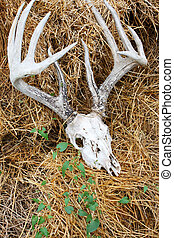 Deer Skull and Antlers - A weathered old deer skull with...