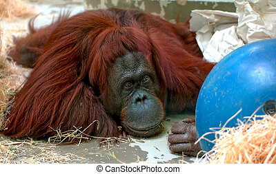 Depressive Orang Utan - Unhappy Orang utan caught in a zoo